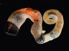 The Mucus-Shooting Worm-Snail That Turned Up in the Florida Keys - The New York Times