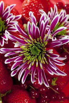 Chrysanthemum 'Zanmusaba'   Royal Van Zanten