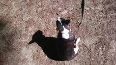Batty Boston Terrier, English, Mini, Dogs, Animals, Animales, Animaux, Pet Dogs, English Language