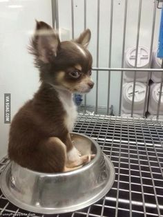 small chihuahua sitting in a food bowl Teacup Chihuahua Puppies, Cute Dogs And Puppies, Baby Puppies, Baby Dogs, Doggies, Cute Little Animals, Cute Funny Animals, Cute Animal Pictures, Dog Pictures
