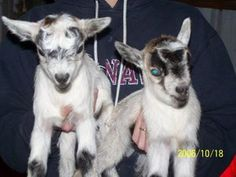 Pet Goat Pictures: B.B. and Bandit (The white one is B.B.  - short for Buster's Boy)