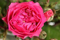 Rosa Freilandrosen als Schnittblumen - Saison im Juni, Juli, August und September  #rosen #schnittblumen #blumen