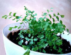 How to Grow Ferns from Spores  by ChrysN, instructables #Garden #Ferns #ChrysN #Instructables