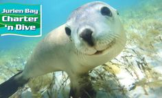 Swim With the Rare Australian Sea Lions During a Three-Hour Tour for Just $65! Suitable for All Ages! Explore the Exquisite Jurien Bay Marine Park