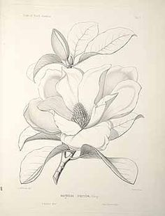 Magnolia line drawing