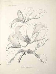 Magnolia line drawing