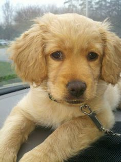 Adorable Golden cocker retriver !!Someone find me one!!!!Please!!!!