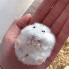 e2af1cf7jw1epmnq7c29wg20640641dk.gif 220×220 pixels Super Cute Animals, Cute Little Animals, Cute Little Things, Cute Funny Animals, Funny Animal Pictures, Baby Hamster, Hamster Care, Funny Hamsters, Robo Dwarf Hamsters