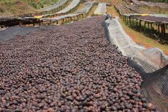Ethiopian Yirgacheffe coffee drying in the sun.   This is what dry processed coffee is