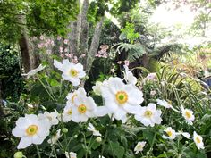 秋明菊 Anemone Japonica