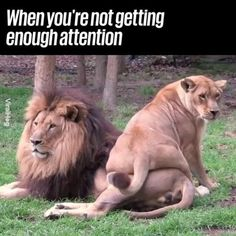 Funny Animal Videos, Funny Animal Pictures, Cute Funny Animals, Animal Memes, Cute Baby Animals, Animals And Pets, Cute Cats, Funny Lion, Funny Cats