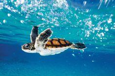 5 Things You Need To Know About Hawaiian Sea Turtles   Hawaii ...
