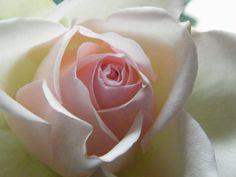 Mooie zachtroze roos op vaas.