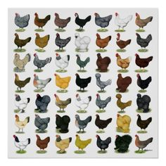 49 Chicken Hens Posters