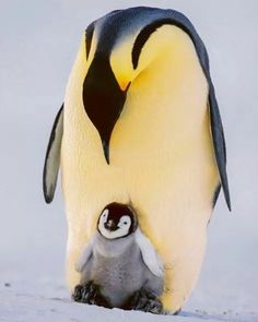 I wonder what kind of penquin this is...it's so yellow!