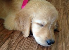 Sophie the Golden Retriever puppy - so sweet