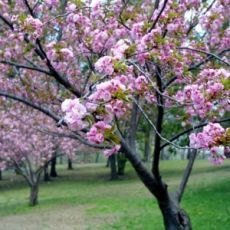 Как бесполезный абрикос превратится в урожайную сливу и другие садовые хитрости