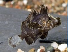 Butterfly Goby or Wasp Fish For Sale latin - Neovespicula depressifrons or aka…