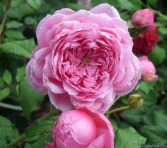 Photo of the rose 'Alan Titchmarsh' Love Flowers, My Flower, Rose Foto, Pink Nature, Rose Care, Rose Perfume, Flower Landscape, Rose Pictures, David Austin Roses