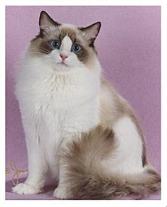 A pretty and ultra rare Chocolate Point Bicolor Ragdoll cat.