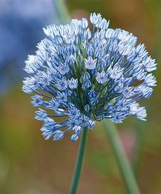 Loving this 'Azureum Blue Globe Onion' Allium Bulb - Set of 25 on #zulily!    Elegant color and eye-catching blooms offer a charming way to add a dynamic effect to your existing garden. Grows to 1.9'' H and up Grown in the Netherlands #zulilyfinds