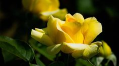 #rose  #flower #flowers #ig_flowers #superb_flowers #FlowerStalking #wp_flower #floral_splash #igscflowers #薔薇