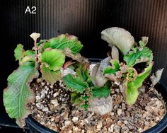 A dwarf species from Madagascar with a round, fat little caudex and crispy edged succulent leaves. Flowers (cyathia) are pale pink. Succulent Bonsai, Cacti And Succulents, Planting Succulents, Succulent Images, Paradise Found, Agaves, Rare Plants, Aloe, Garden