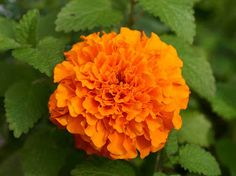Flower Picture: Marigold