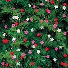 Cypress vine is really close to cardinal vine.  But it is much more dainty.  They do not grow well with other vines.  They tend to get smothered out.  Plant these on their own.  They do tend to reseed themselves.  And come in pink, white, and red.