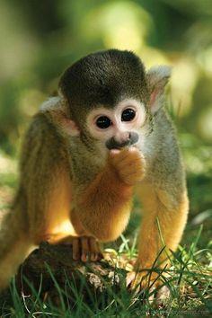 funnywildlife:    Monkey Cutie!!