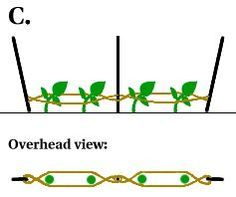 the Florida weave support method for tomatoes. Might try this since all my tomato cages have disappeared.