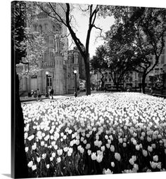 White tulips near a water tower, Chicago Water Tower, Michigan Avenue, Illinois