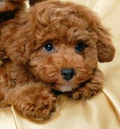 Poodle Dogs ^^Find out about great dane puppies. Check the webpage to get more information Viewing the website is worth your time. Cute Baby Dogs, Cute Little Puppies, Cute Dogs And Puppies, Cute Little Animals, Doggies, Cavapoo Puppies, Maltipoo, Toy Poodle Puppies, Maltese Poodle