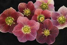 Spring Planted shipped 3-15 to 6-15 1797875602_Helleborus_Pink_Parachutes.jpg
