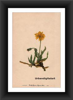 Wolly Agoseris-Downloadable Vintage  Art Print by UrbanDigitalArt