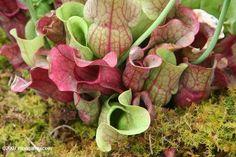 Purpurrote Kannenpflanze (Saracenia pupurea)