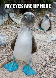Hahahahaha my eyes are up here!!!!!: Blue Footed Boobie, Animals, Blue Footed Booby, Funny, Bluefootedbooby, Birds, Blue Feet, Eye
