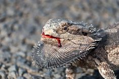 The Bearded Dragon Diet - 7 Top Foods - Exotic Bearded Dragons Eastern Bearded Dragon, Bearded Dragon Diet, Mini Pigs, Little Dragon, Unusual Art, Reptiles And Amphibians, Goats, Kittens, Puppies