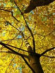 Maples, autumn - stock photos and images.