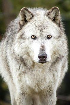 "2017/08/13 Lone Grey Wolf by Albert Marquez """