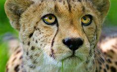 Los grandes felinos Guepardos Ojos Vistazo Morro Bigotes Animales in Animales. Toneladas de calidad HD gratis para descargar fondos de pantalla y fondos de escritorio y móviles