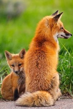 TWO RED FOXES by Bob21.