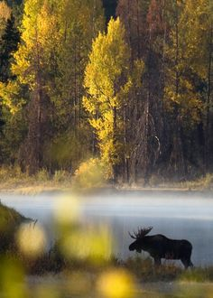 Bull moose crosses Snake River at dawn, Yellowstone National Park, Wyoming