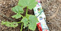 Awesome gardening hacks that really work! Tips for tomatoes, bugs, watering and keeping plants warm in cooler weather. Tried & true, worth giving a try!