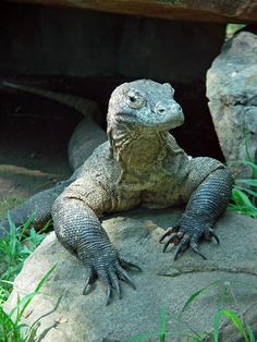 Google Image Result for http://www.photohome.com/pictures/animal-pictures/wildlife/komodo-dragon-1a.jpg