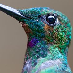 Beautiful Macro Photo of a Hummingbird's Details by Chris Morgan  Green-Crowned Brilliant Heliodoxa jacula
