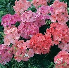 Divas Ripple Mix Geranium - Annual Flower Seeds. Divas Ripple Mix is a bright, showy blend of Blueberry, Strawberry and Raspberry Ripple. Packet is 10 large seeds.