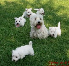 Pack of Westie Pups!   I want another one now!!!