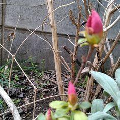 庭横に植えてる つつじが咲きそーすんごーく膨らんできてる 最近のあたしと一緒だあまー  食欲が止まらない ლ(ڡლ)もぐもぐもぐ 良く動いてるのになあまー  わかってるカロリー気にせず欲しいもの気の向くまま喰いあげるから速攻  身につくはぁー誰のせいでもない やばいやばいやばすぎるーー  #庭 #garden # #つつじ #花  #うれしいたのしいだいすき #素敵 #ありがとう #感謝 #好き # # #暮らし #日常 #食 #グルメ # #デザート #多肉植物 #美容 #コスメ #ネイル #コストコ購入品 #大人 #女子 #インスタ #繋がり #ウォーキング #ダイエット #お家ごはん