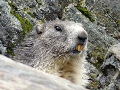Murmeli – Murmeltier in Zermatt. Zermatt, Highlights, Animals, Animales, Animaux, Luminizer, Hair Highlights, Animal, Animais